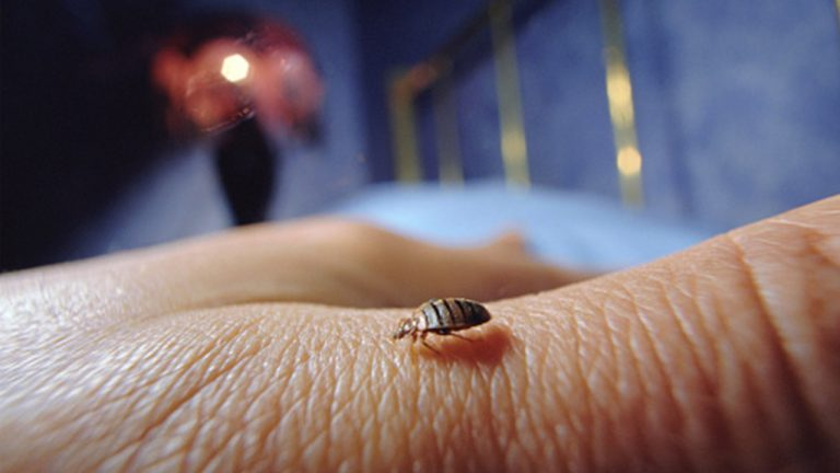 Identifying Bed Bugs – How to Know that Your House is Infected